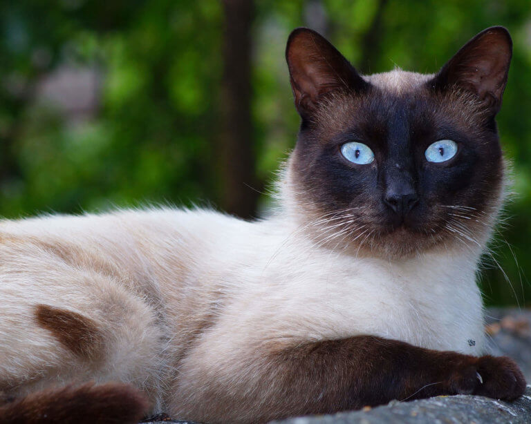 Siamese Cat | Breeds | Cat Mania | For Cat Lovers