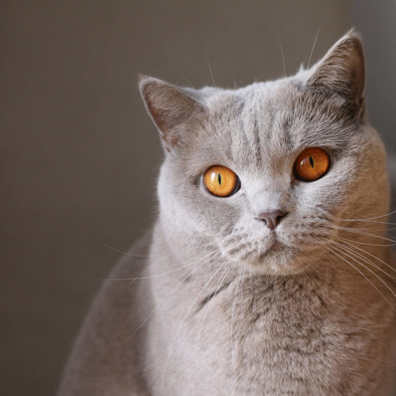 British Shorthair | For Cat Lovers ! Reviews & Advice