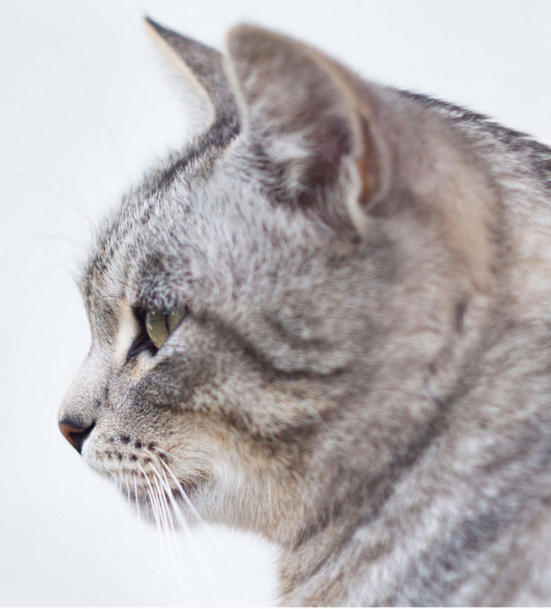 American Shorthair Cat : Breeds   Cat Mania - For Cat Lovers!