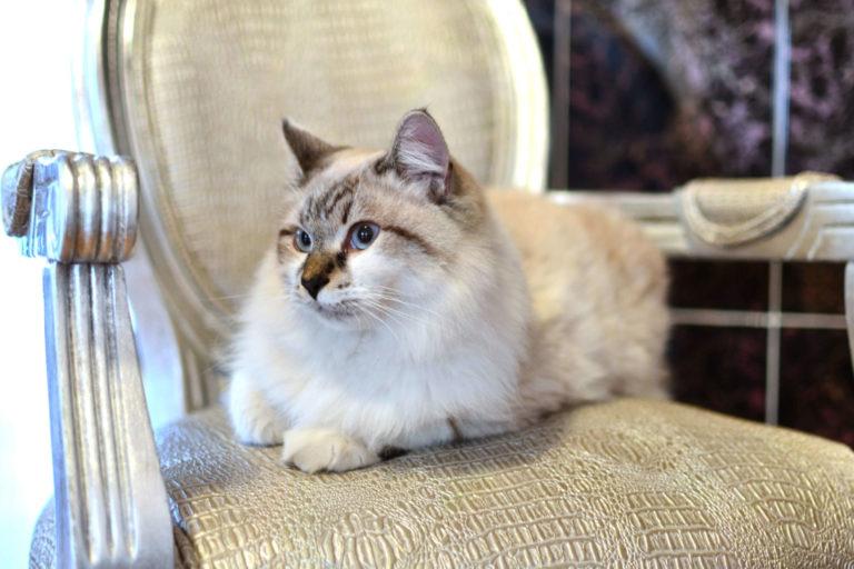 Ragdoll Cat : Cat Breeds   Breed Info   Cat Mania   For Cat Lovers