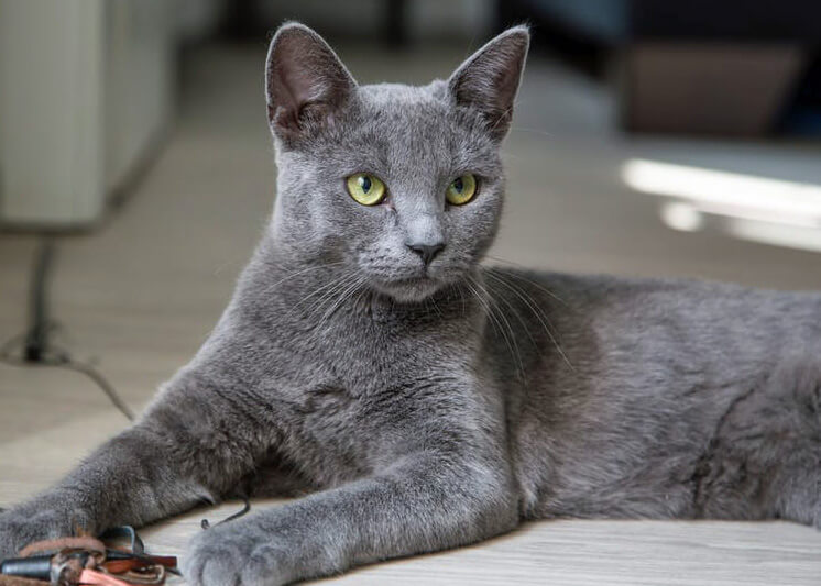 Russian Blue Cat Average Weight