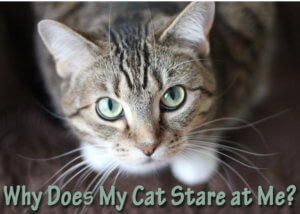 Why Does My Cat Stare at Me? | Cat Mania | For Cat Lovers