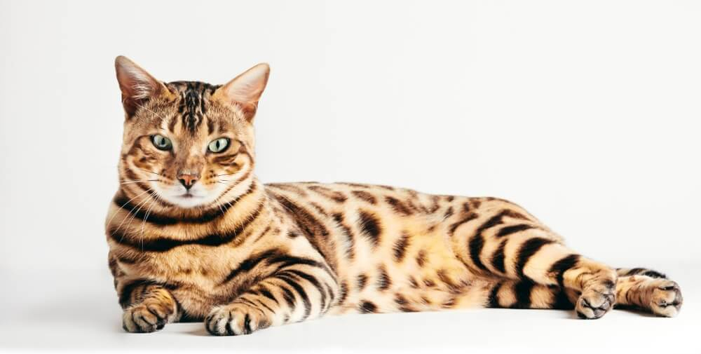 best Bengal cats