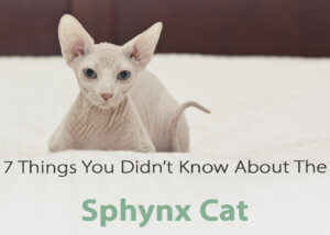 "Sphynx cats are without a doubt one of the most unique cat breeds out there. Sphynx are not always totally hairless having different degrees of ""hairlessness."""
