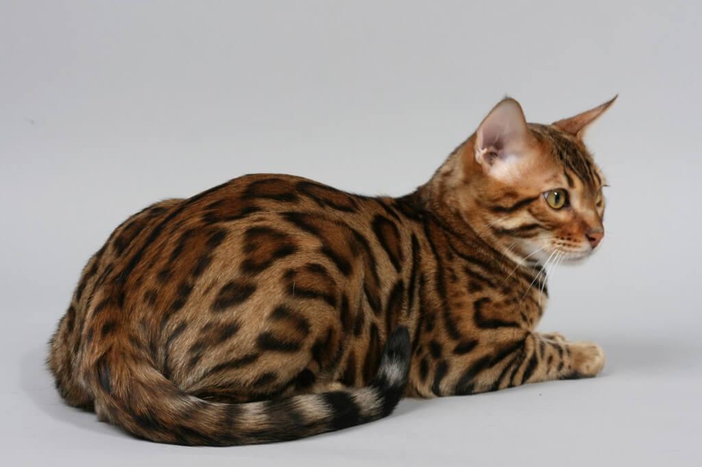 Пятнистые кошки картинки
