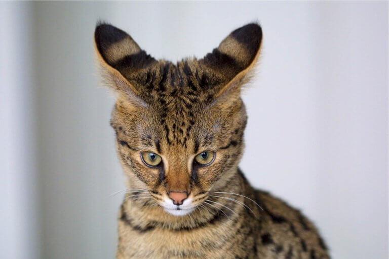 Savannah Cat : Cat Breeds   Cat Mania   For Cat Lovers