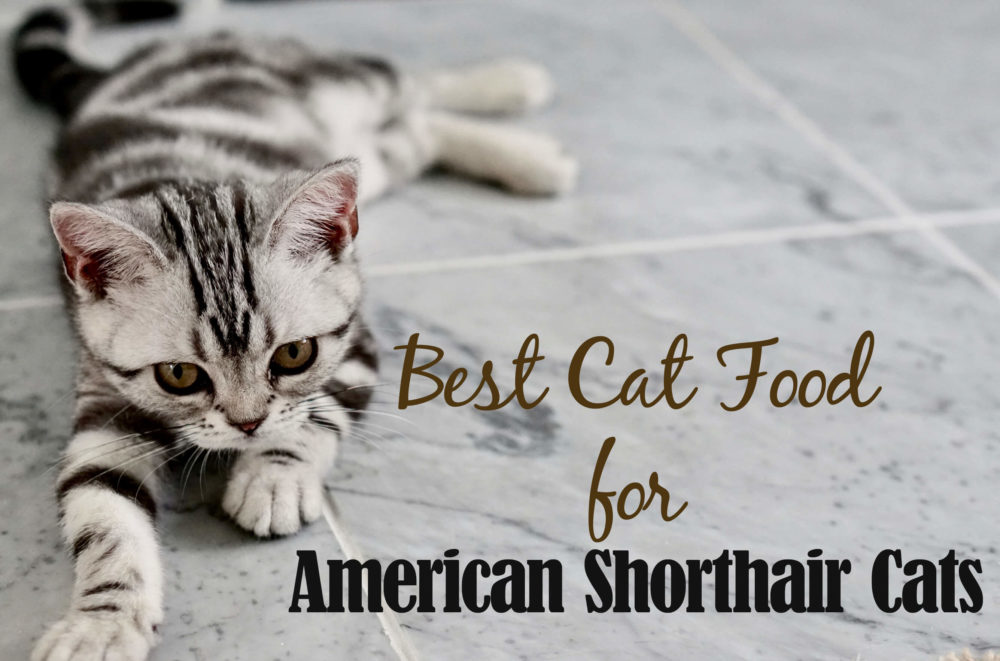 Best Cat Food For American Shorthair Cats 2020 Cat Mania