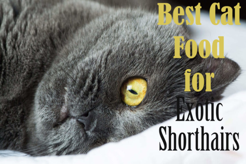 Best Cat Food For Exotic Shorthairs 2020 Cat Mania