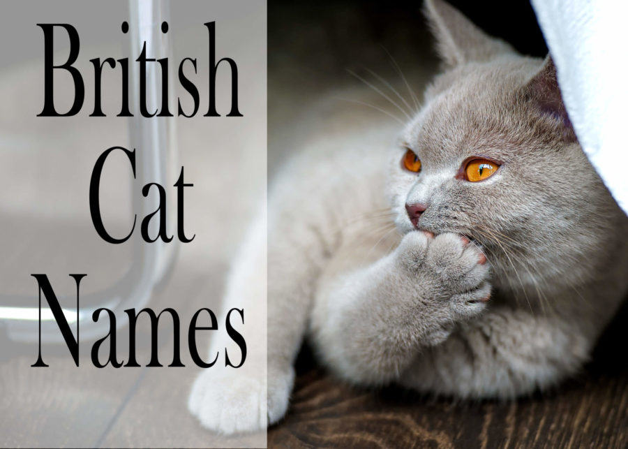 British Cat Names - 150 +Brilliant Names for your Cat