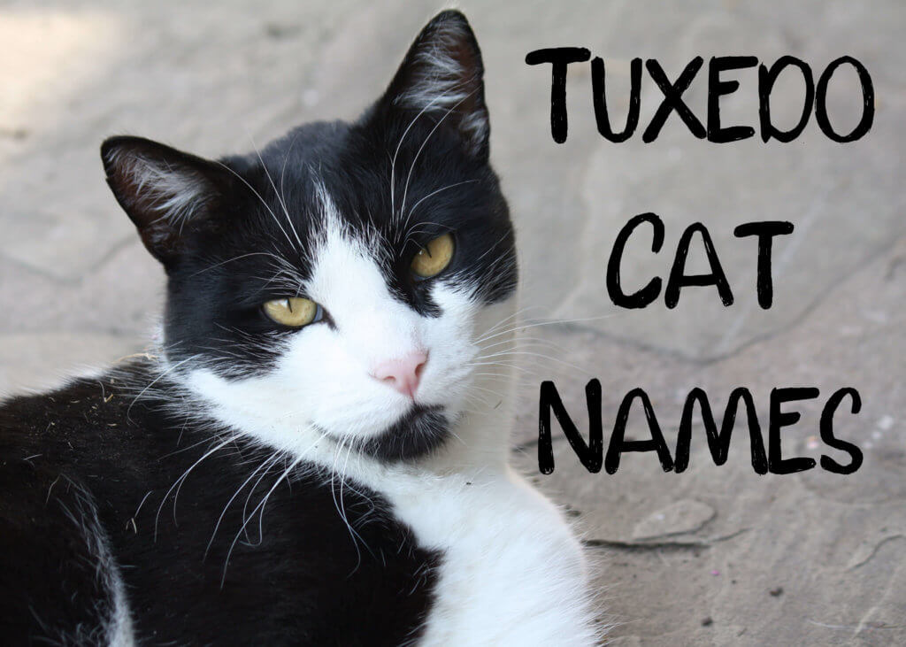 150 Best Black White Names For Tuxedo Cats Cat Mania