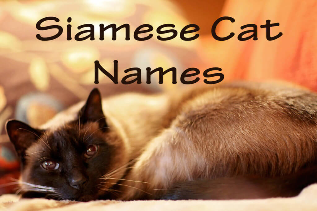 Siamese Cat Names : 100 + Exquisite Names