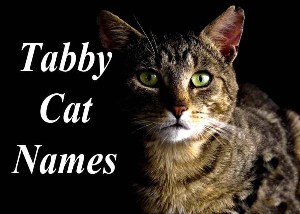 Tabby Cat Names 100 Perfect Names Cat Mania