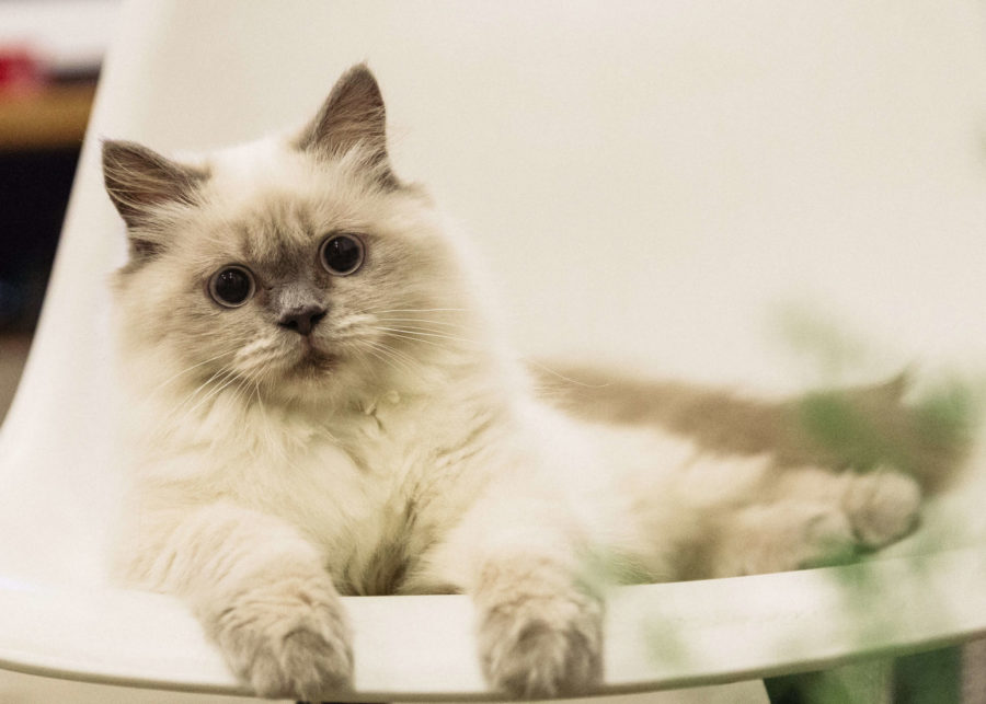 Birman : Cat Breeds
