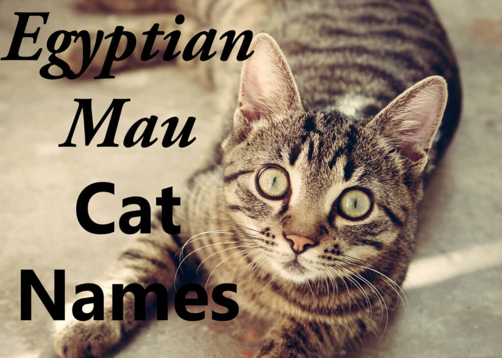 Egyptian Mau Cat Names