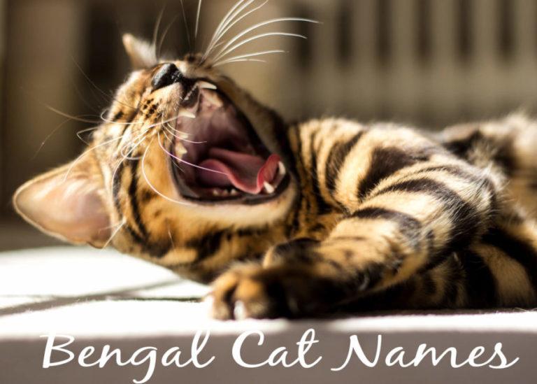 Bengal Cat Names - 100 + Exotic Names