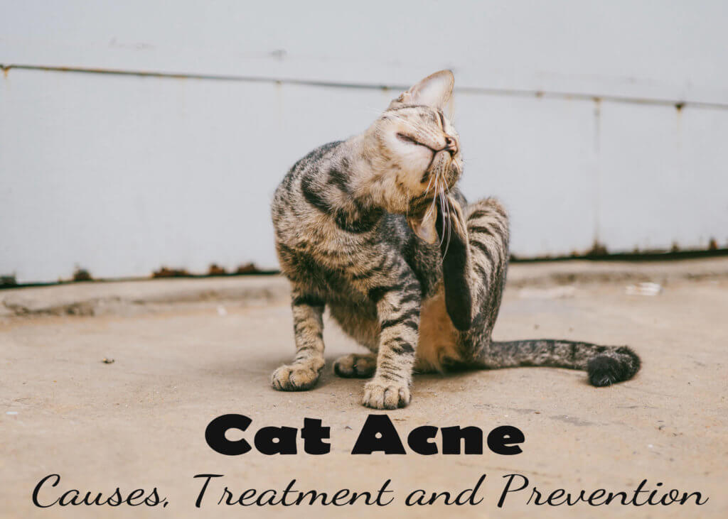 Cat Acne : Causes, Treatment and Prevention