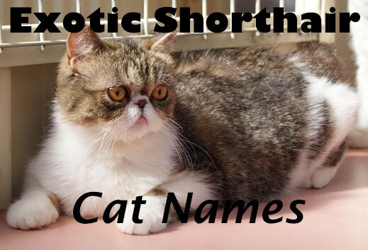 Exotic Shorthair Cat Names