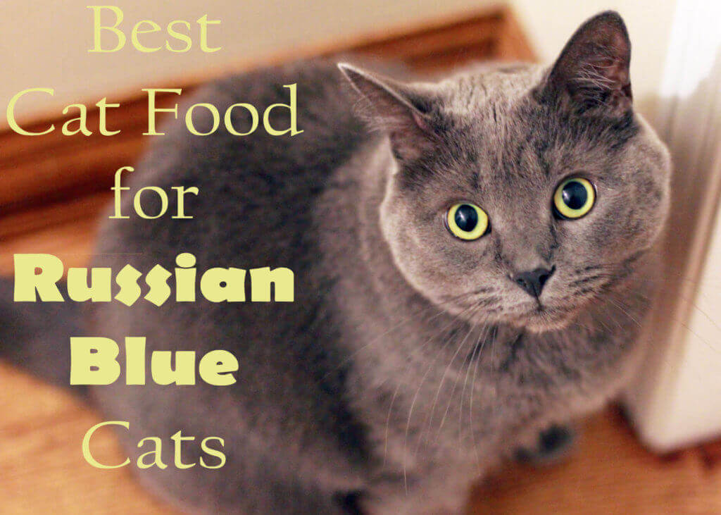 Best Cat Food for Russian Blue Cats
