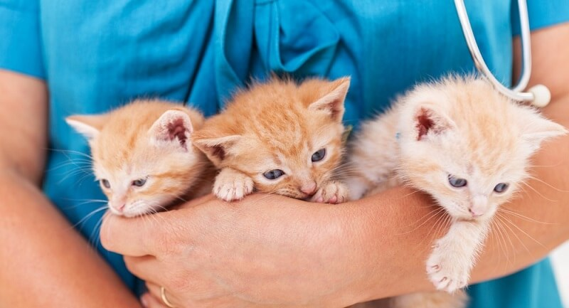 Intestinal Parasites in Cats Symptoms, Treatment