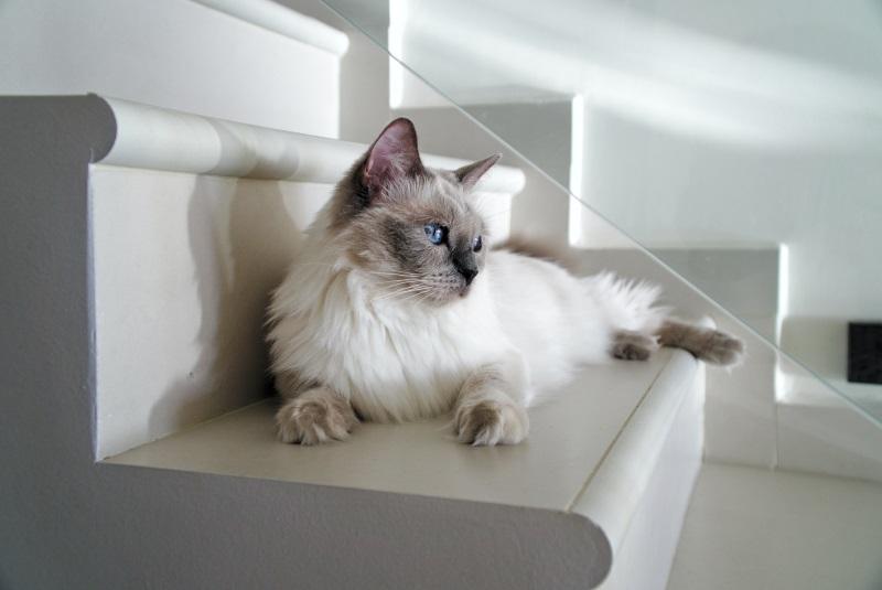 Male (Boy) Ragdoll Cat Names