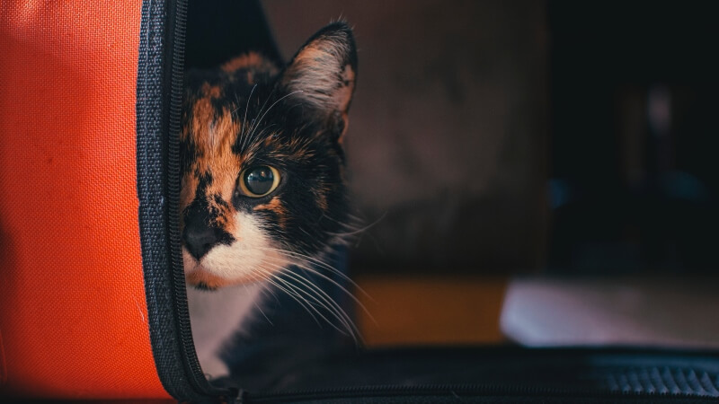 Names for Black Calico Cats