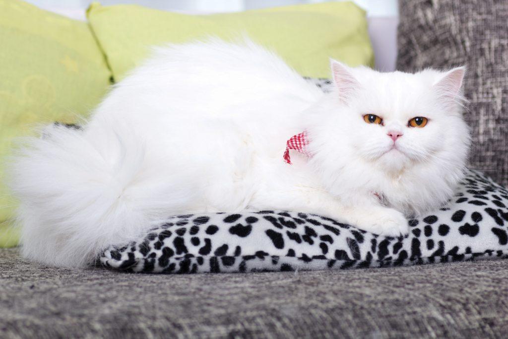 domestic adult white Persian cat