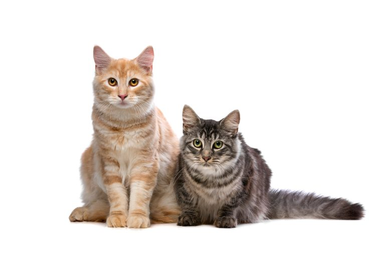 Maine Coon and Norwegian cat