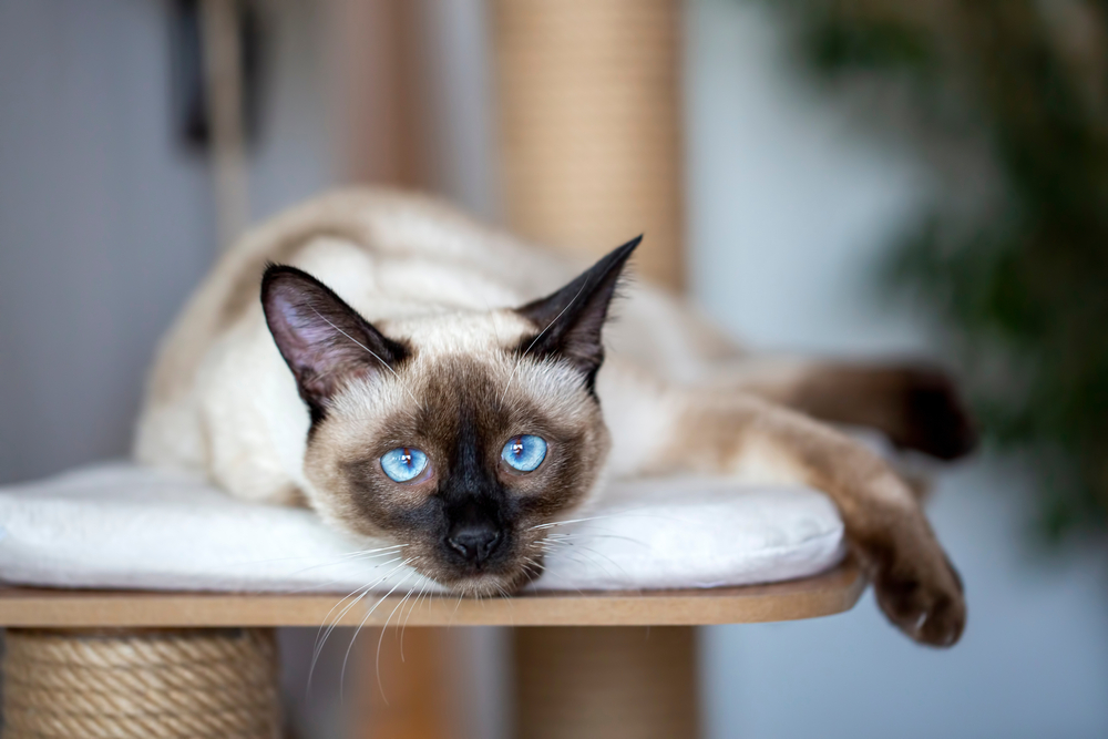 siamese cat colors and patterns