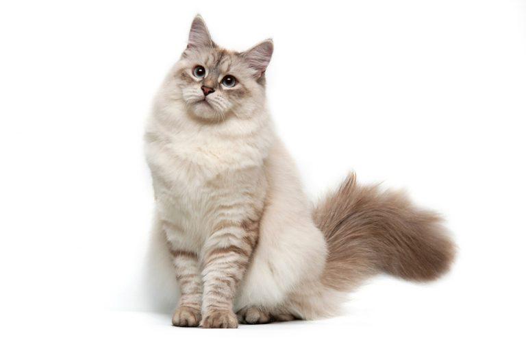 siberian cat colors