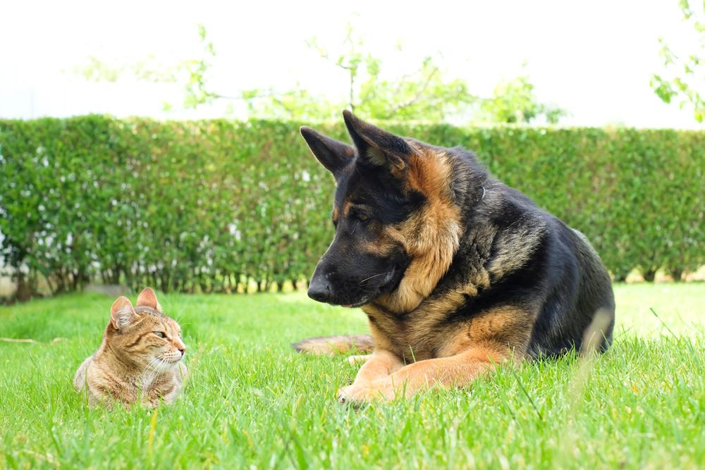 Geman Shepherd and Cat